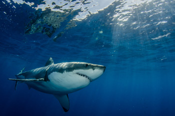 Atlantic White Shark Conservancy Tours
